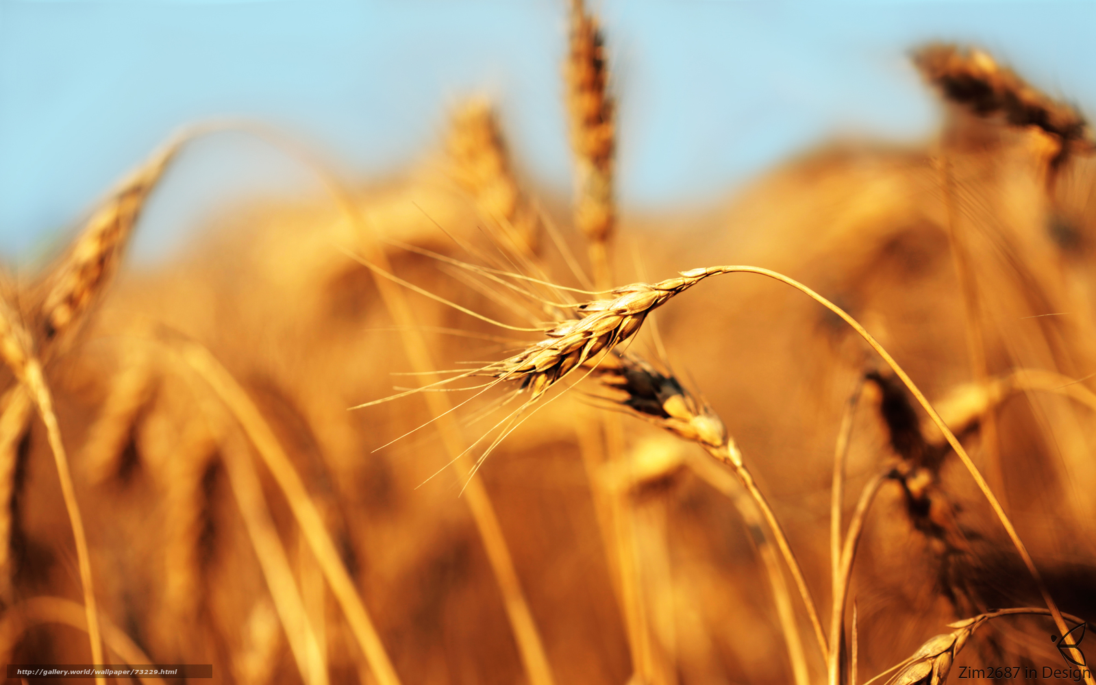 scaricare gli sfondi orecchio,  campo,  pane,  grano Sfondi gratis per la risoluzione del desktop 2560x1600 — immagine №73229