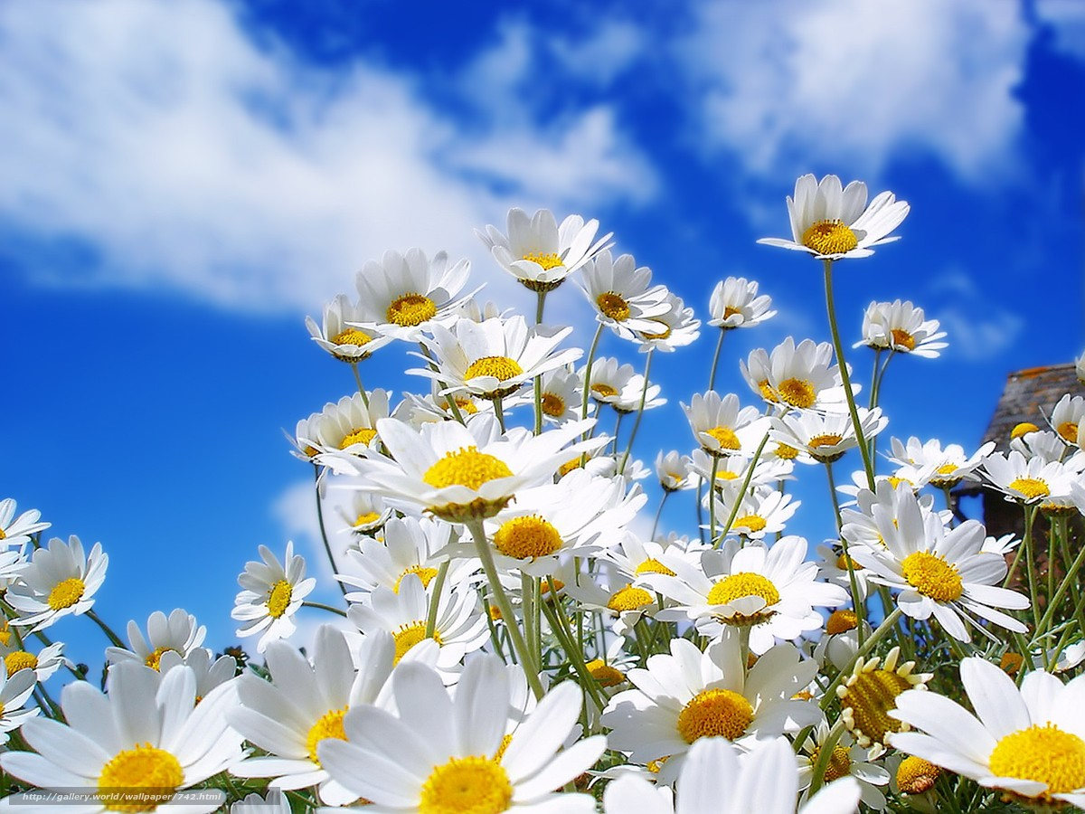 scaricare gli sfondi fiori,  Camomilla,  cielo Sfondi gratis per la risoluzione del desktop 1600x1200 — immagine №742