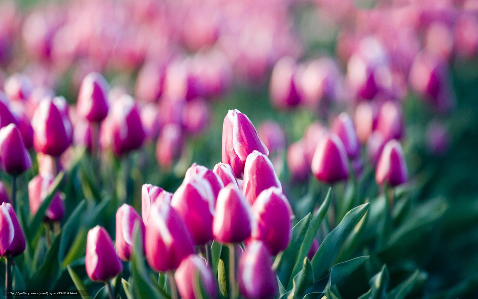 Scaricare Gli Sfondi Tulipani Fiori Campo Di Fiori Rosa Sfondi