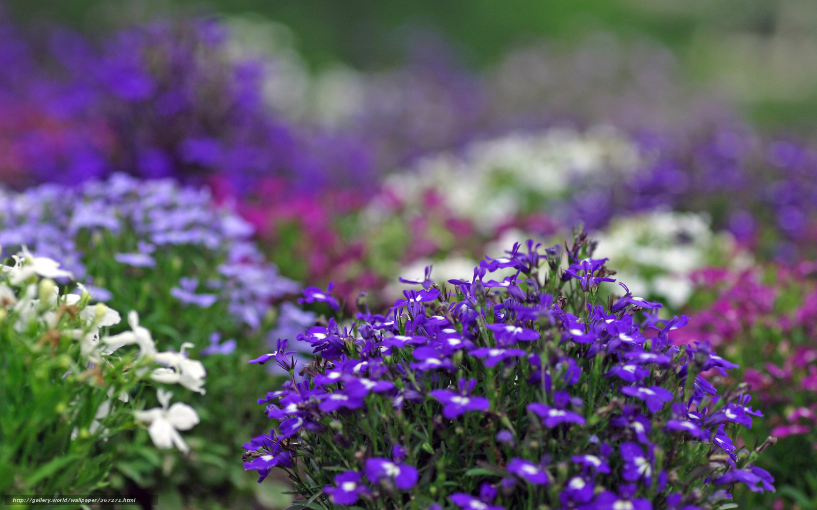 Фото растения с сиреневыми цветами