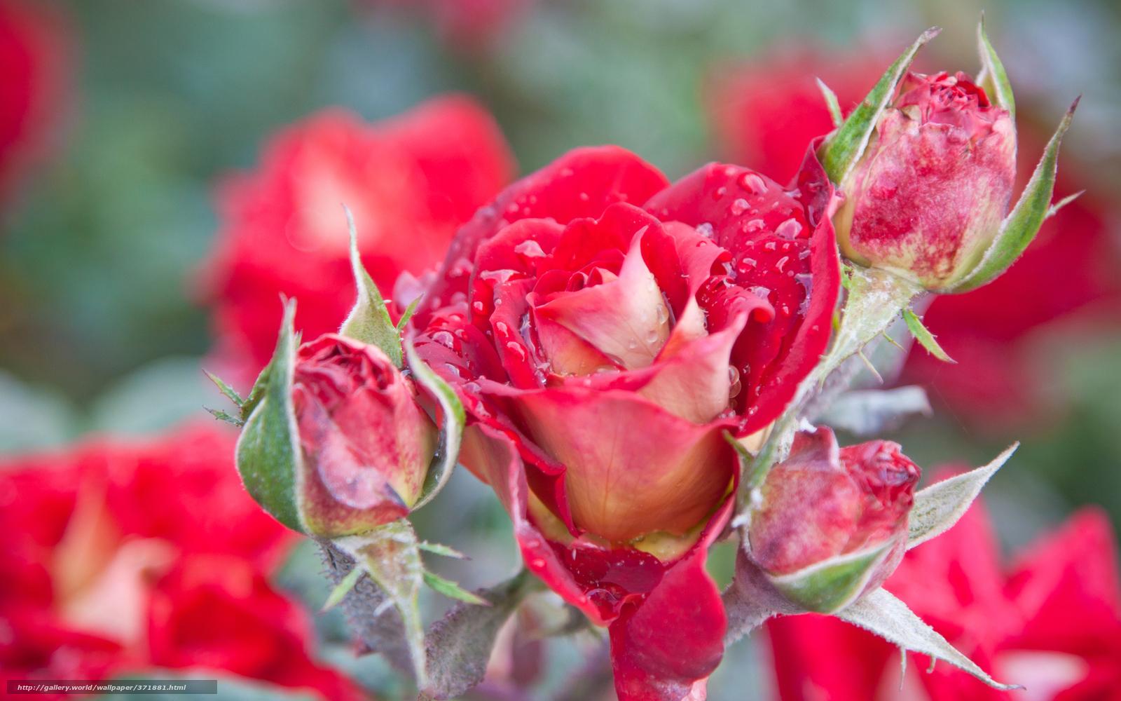 Обои макро для рабочего стола розы