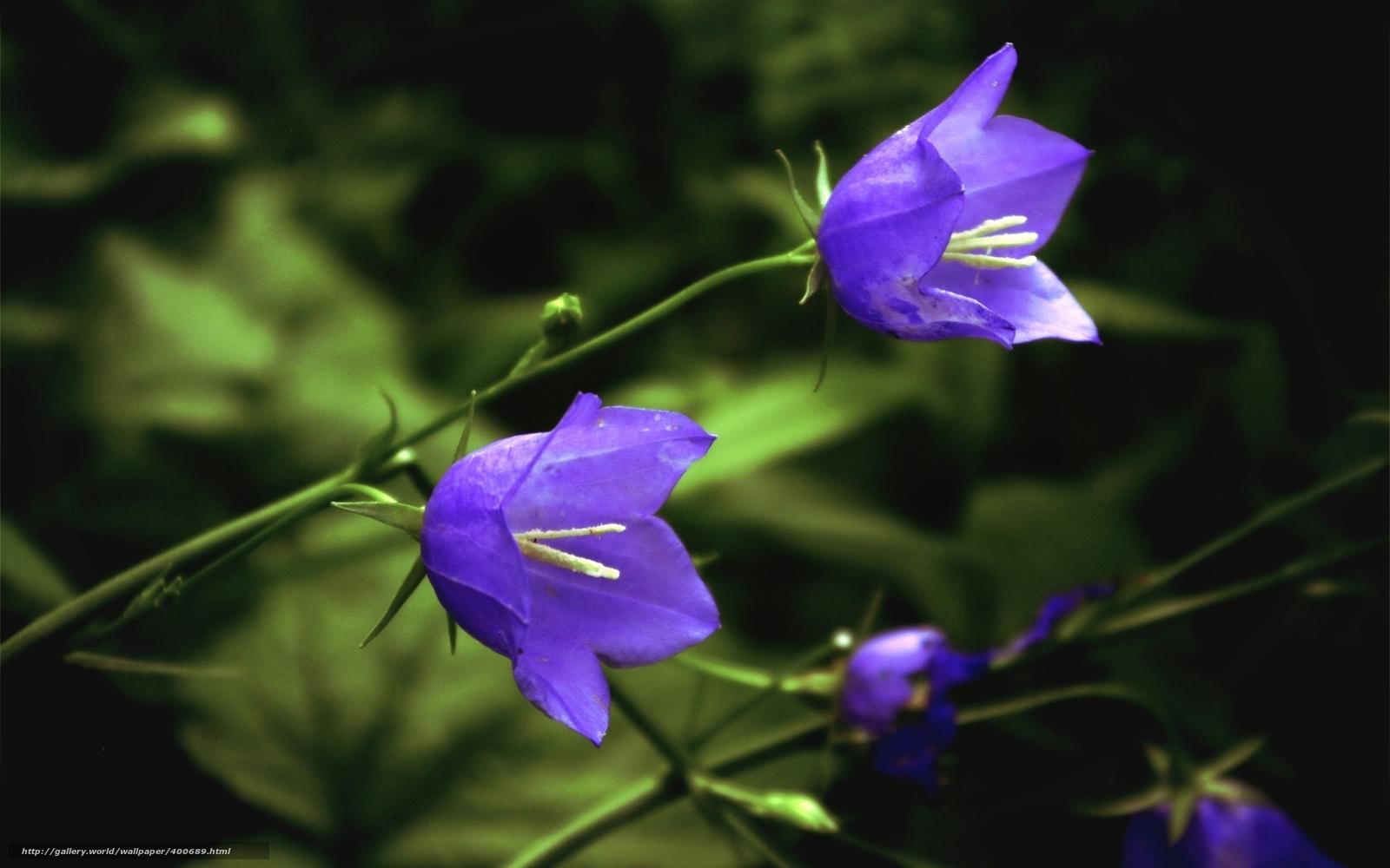 Колокольчики лесные цветы