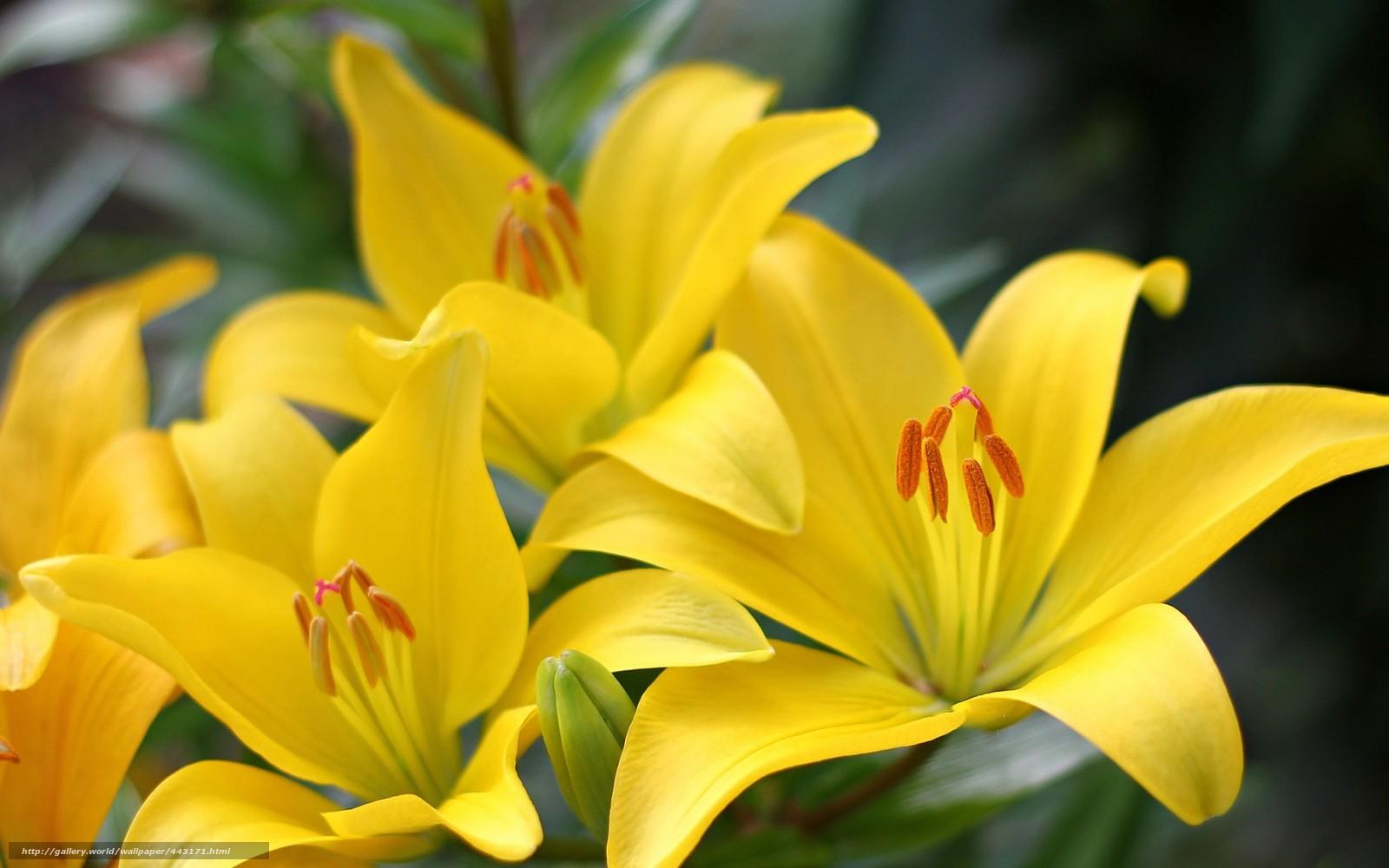 Фото цветок желтая лилия