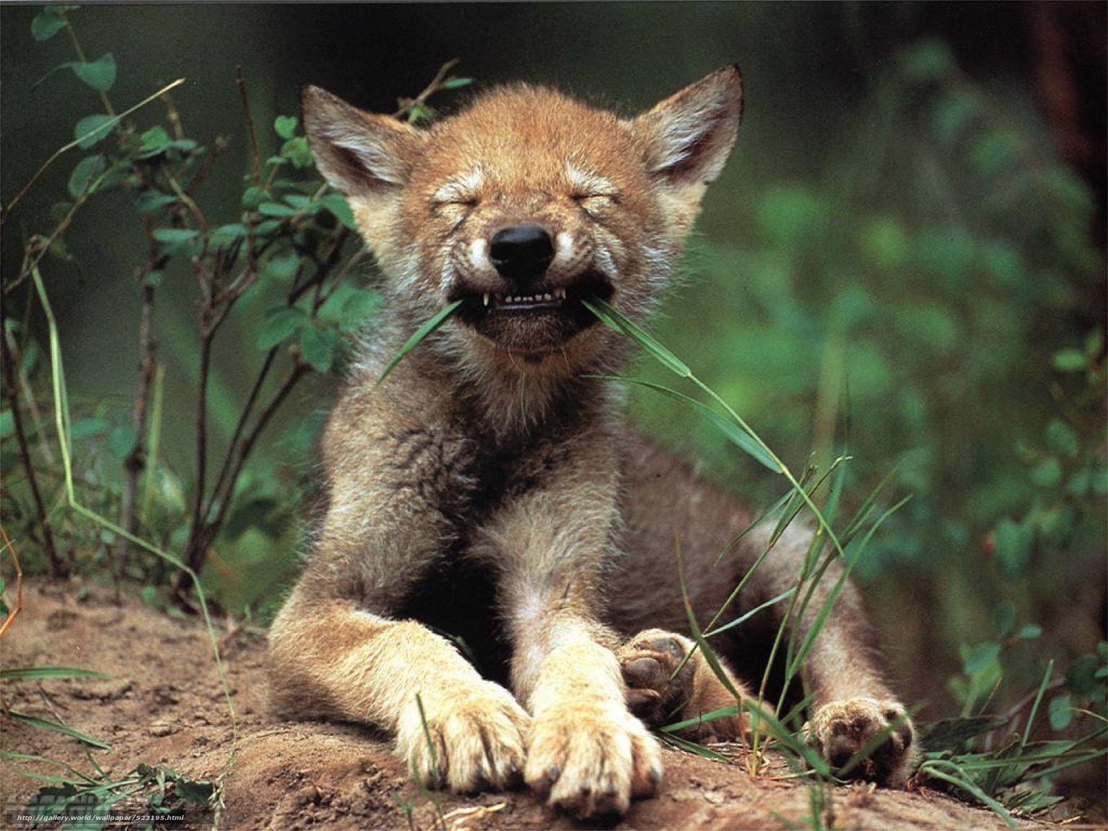 Смешные волки картинки 6 фотография