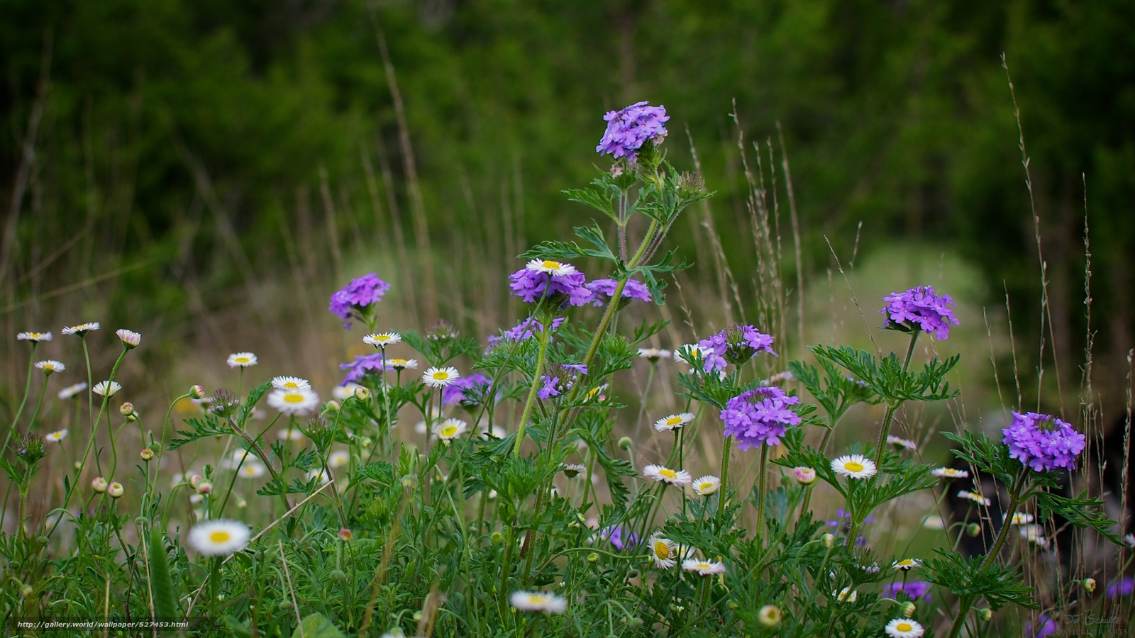 Цветы на поле и описание