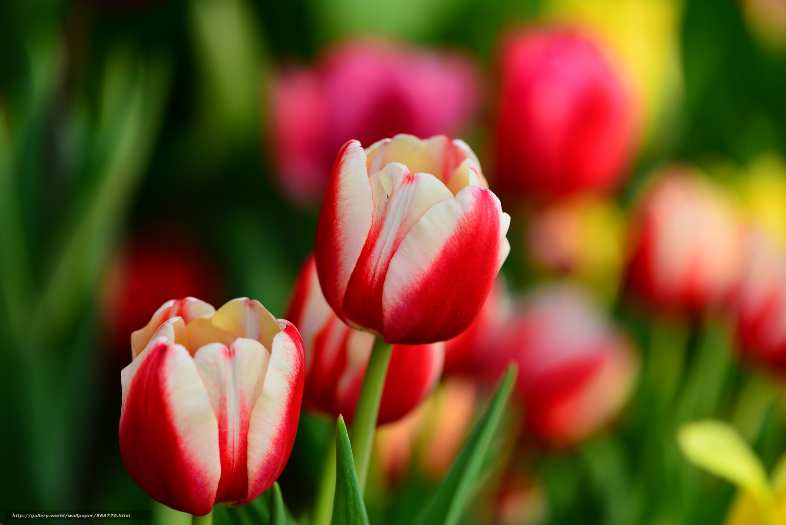 Тюльпаны где найти