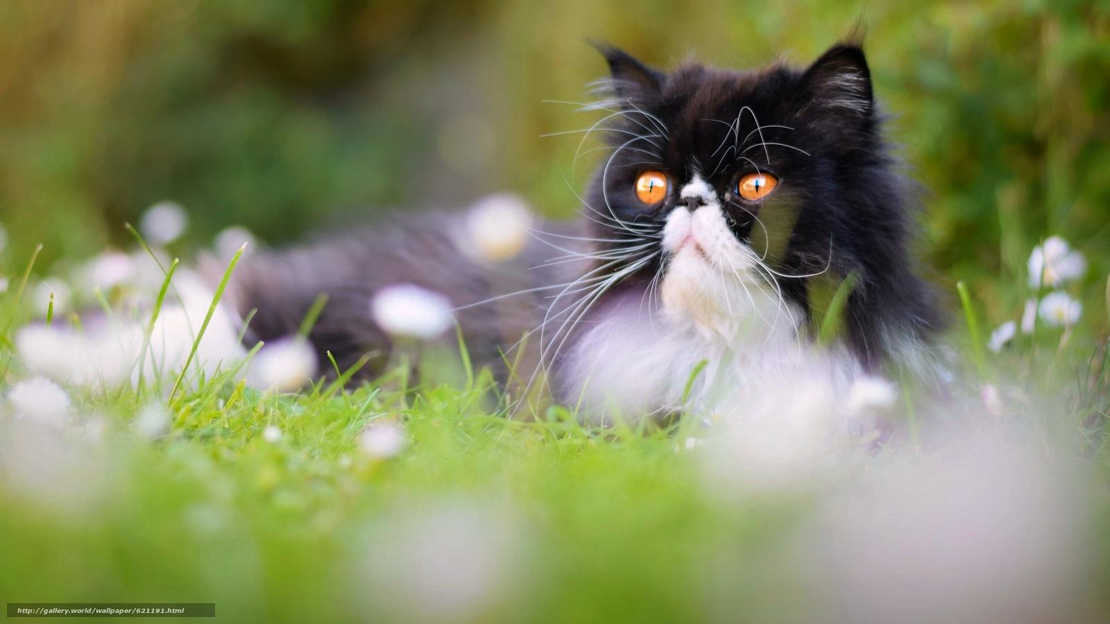 обои кошки для рабочего стола персы № 623698 загрузить