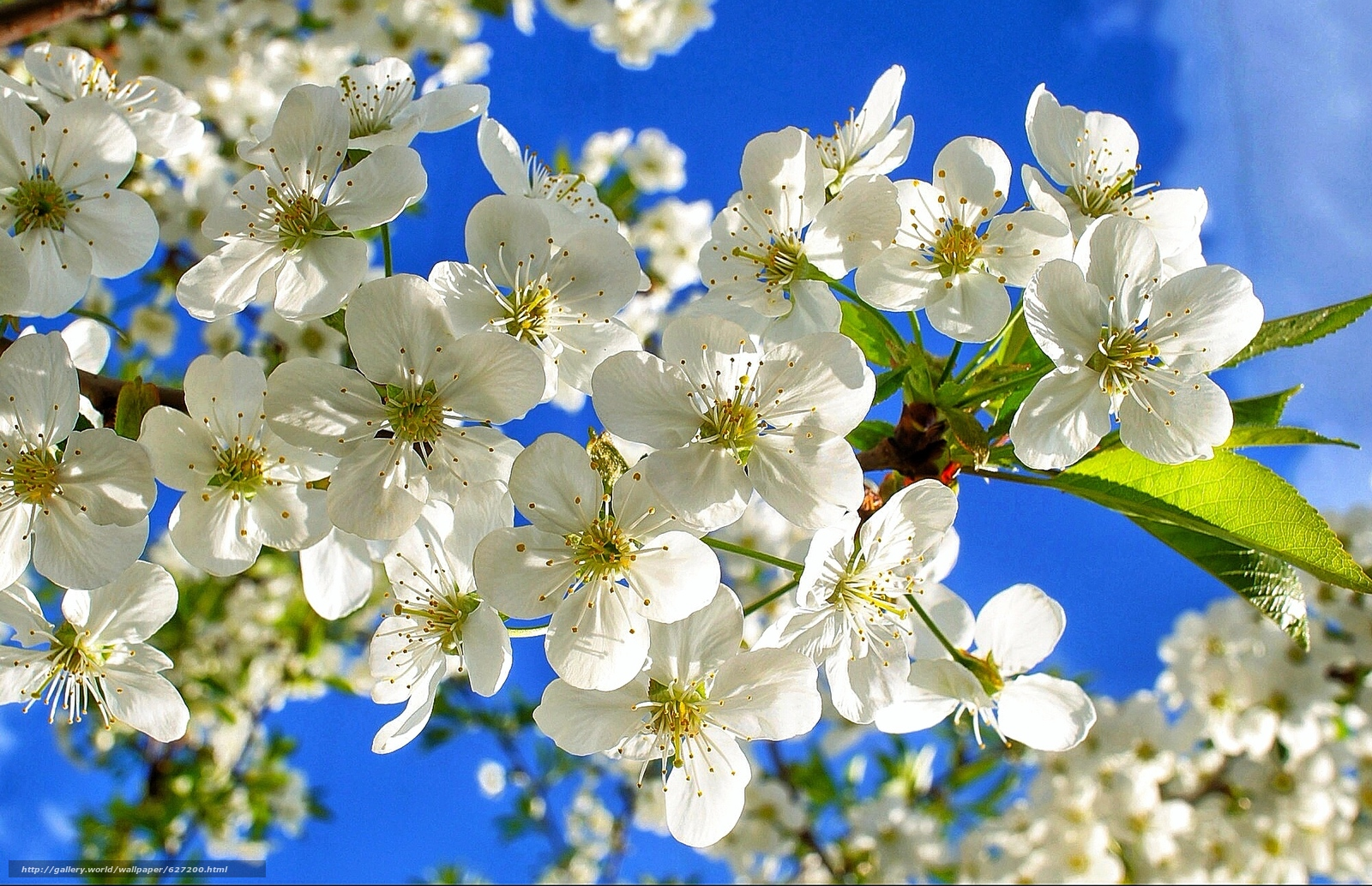Скачать на телефон обои фото картинку на тему Cherry, ветки, цветы, небо, флора, разширение 2001x1293