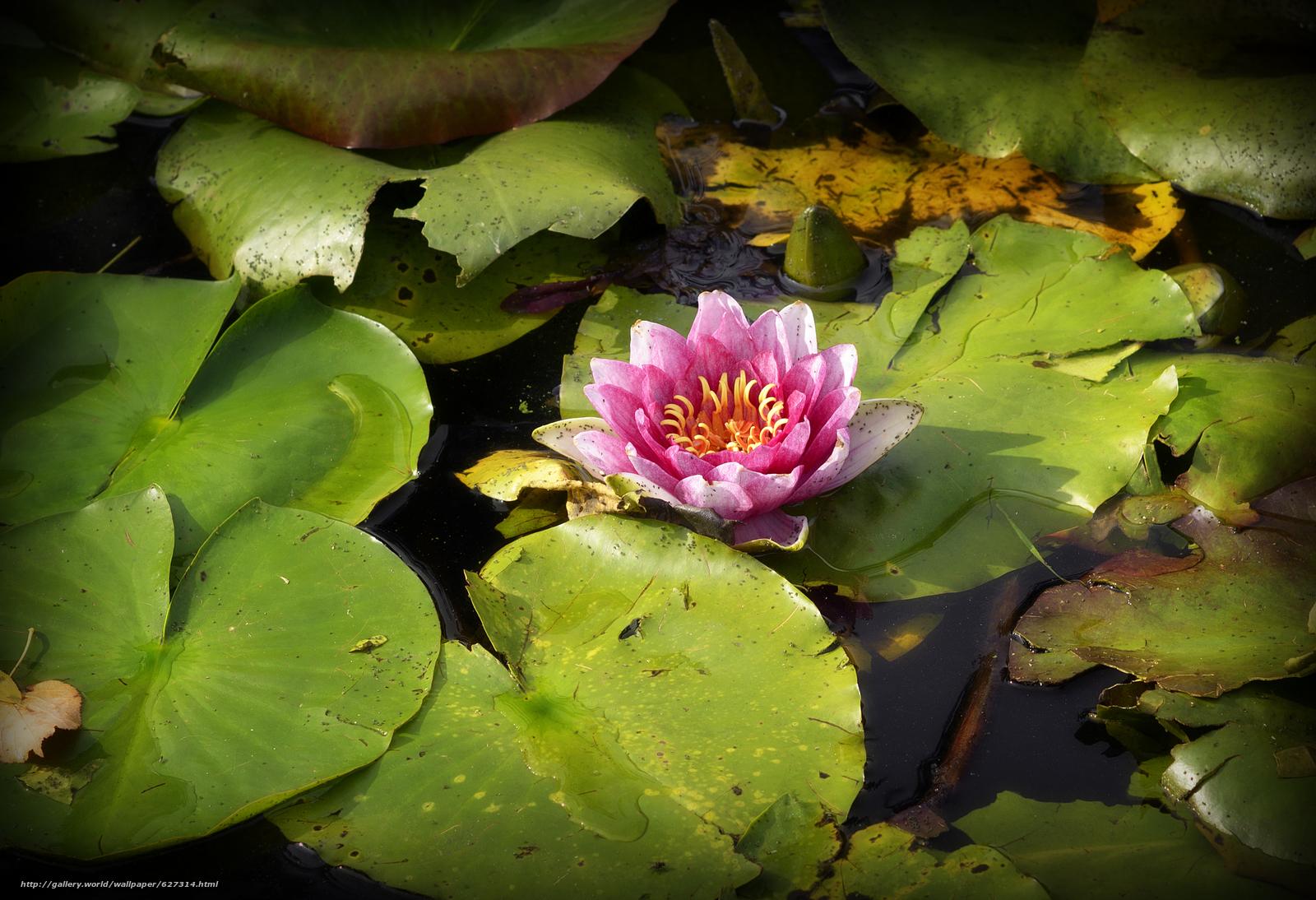 Скачать на телефон обои фото картинку на тему Water Lily, Водяная лилия, цветок, флора, разширение 2983x2040