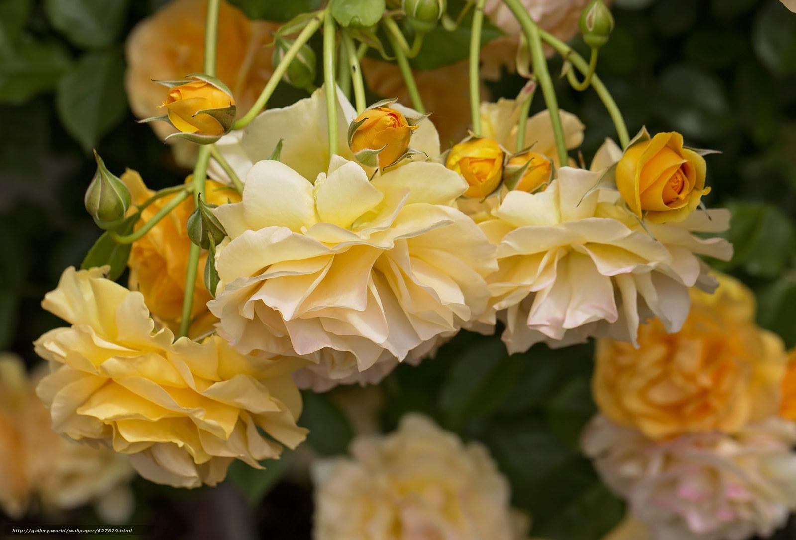 Скачать на телефон обои фото картинку на тему жёлтые розы, розы, бутоны, разширение 2048x1389