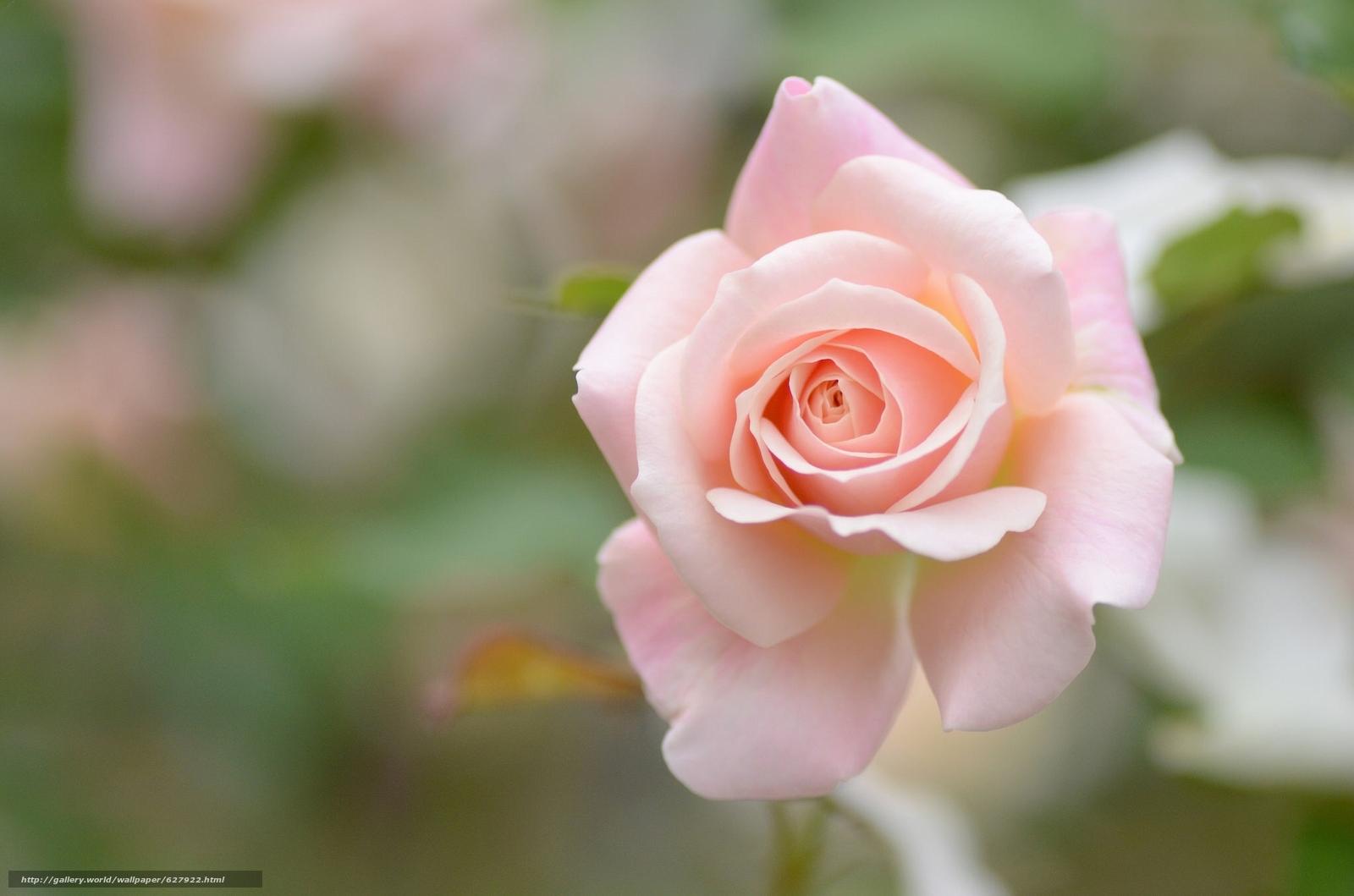Скачать на телефон обои фото картинку на тему роза, бутон, макро, боке, разширение 2048x1356