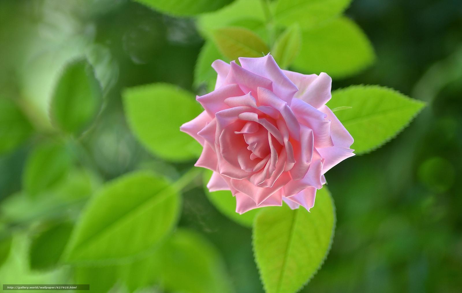 Скачать на телефон обои фото картинку на тему роза, бутон, макро, разширение 3456x2199