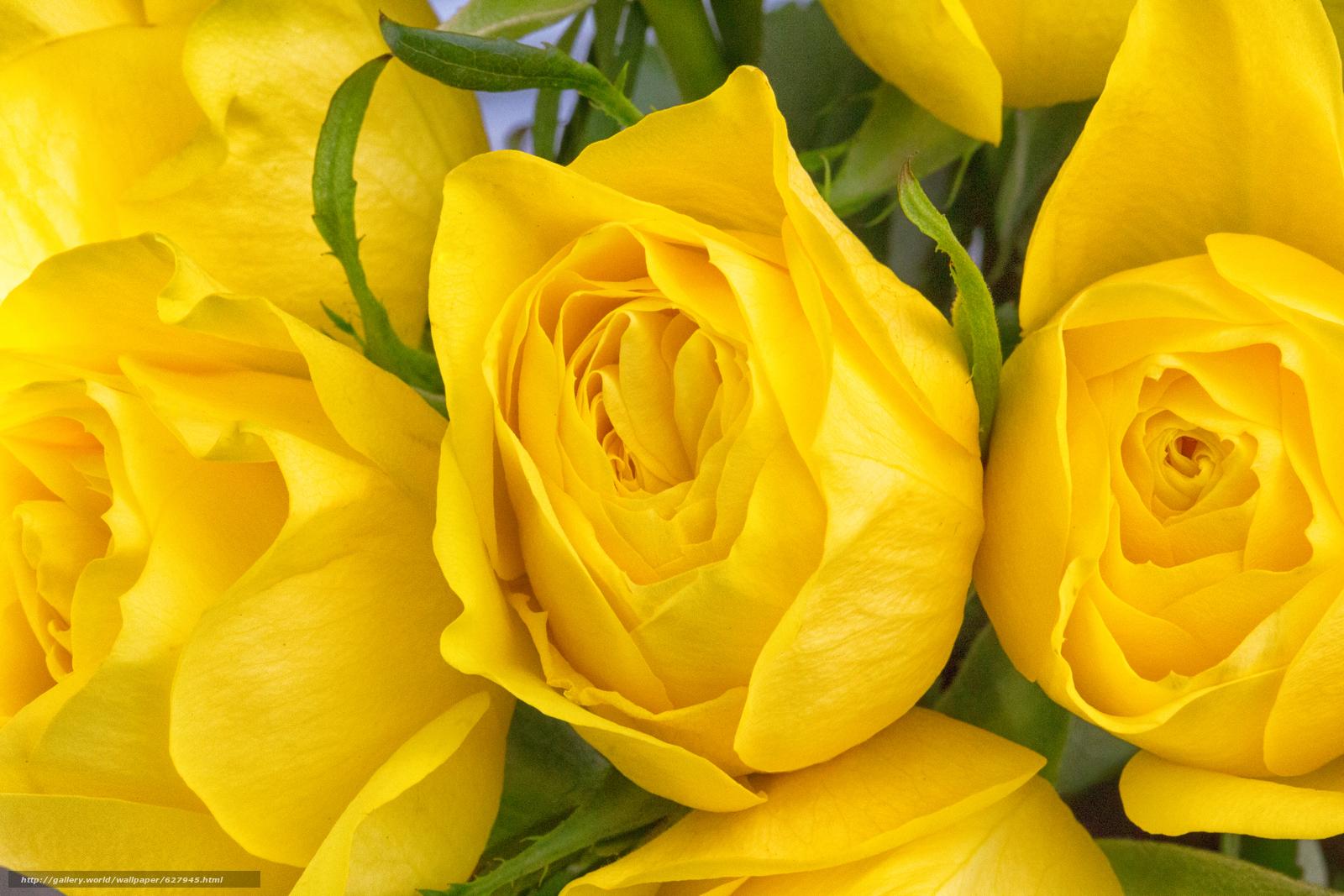 Скачать на телефон обои фото картинку на тему жёлтые розы, розы, бутоны, макро, разширение 5760x3840