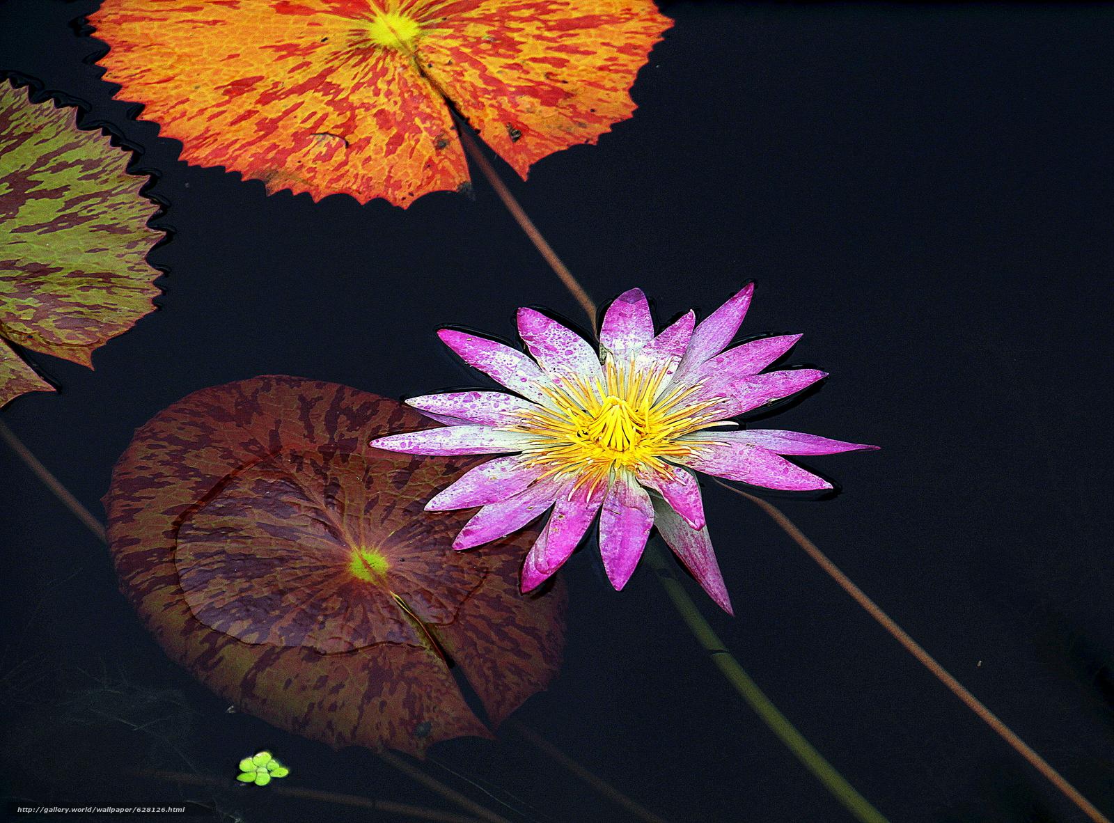 Скачать на телефон обои фото картинку на тему Water Lily, Водяная лилия, цветок, флора, разширение 4679x3456