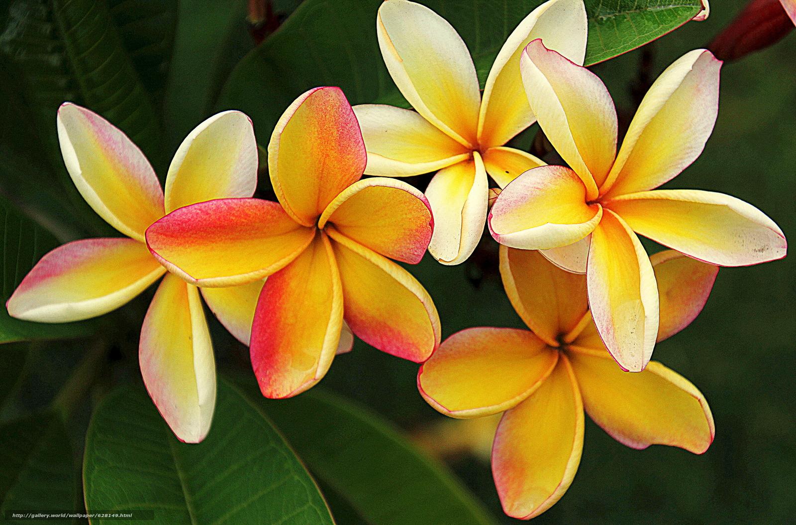 Скачать на телефон обои фото картинку на тему Plumeria, кустарник, цветы, флора, разширение 4816x3173