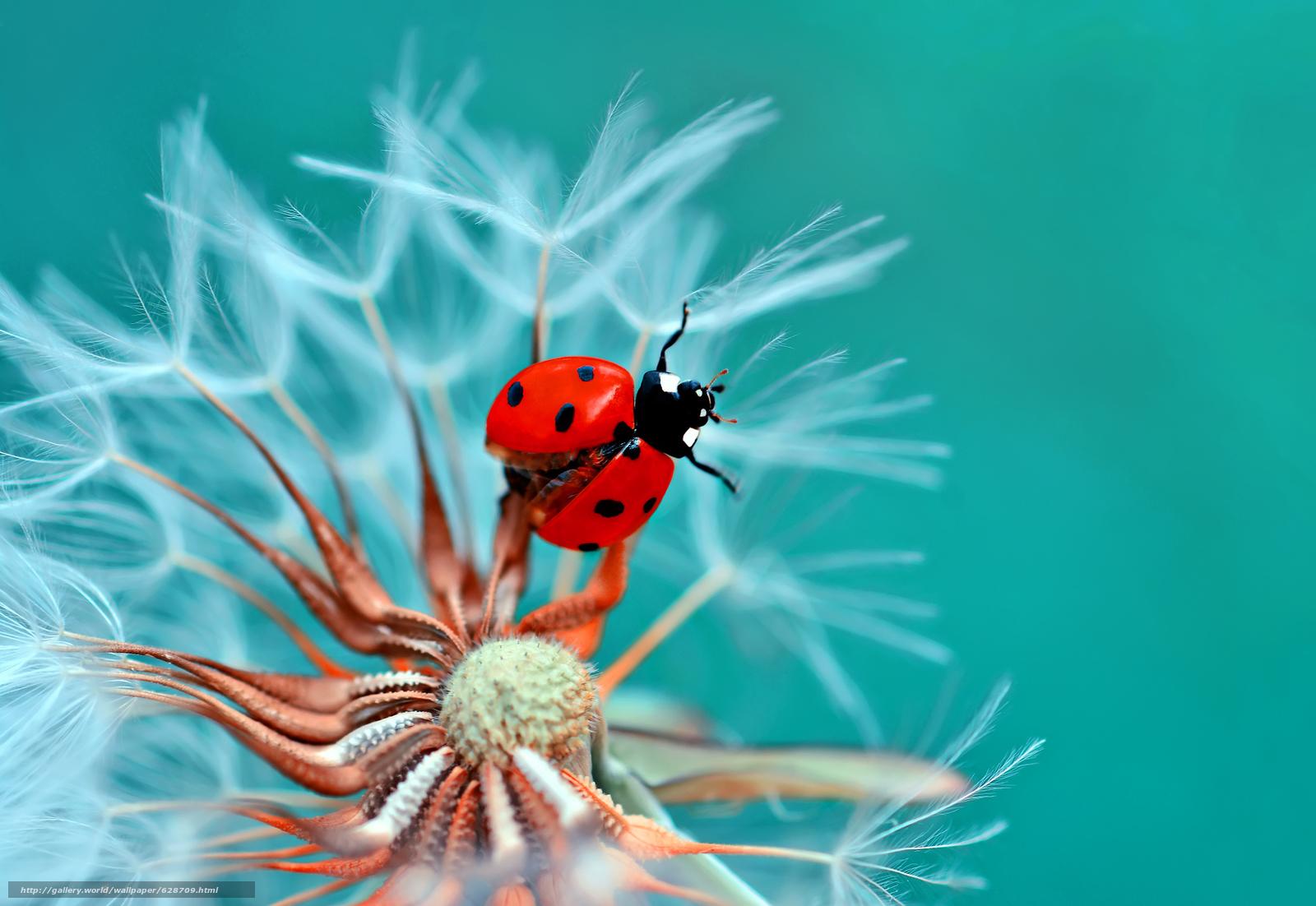 Скачать на телефон обои фото картинку на тему божья коровка, жук, насекомое, козлобородник, цветок, макро, разширение 2048x1410