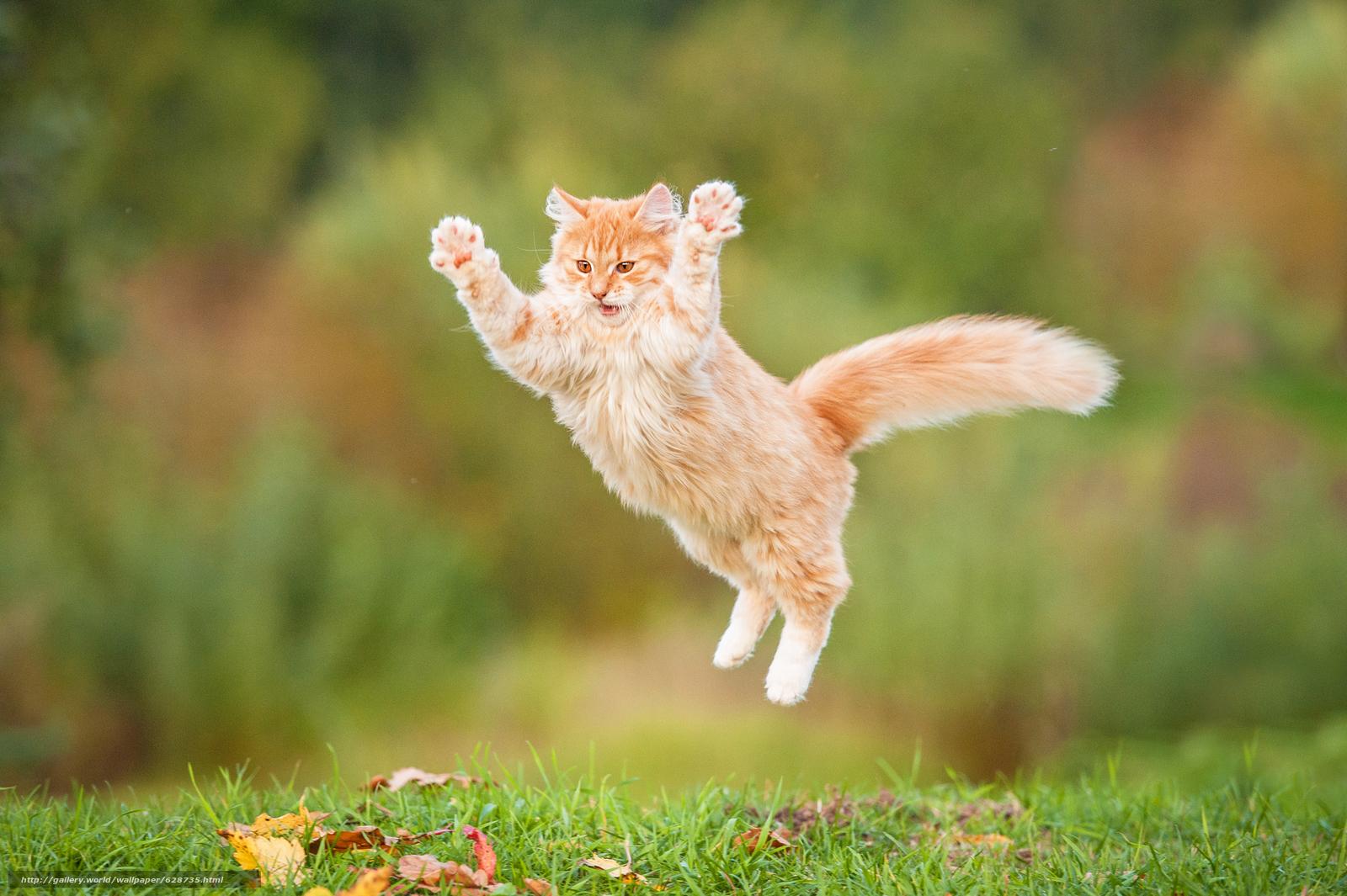 рыжий, пушистый, кот, прыжок, рыжий кот