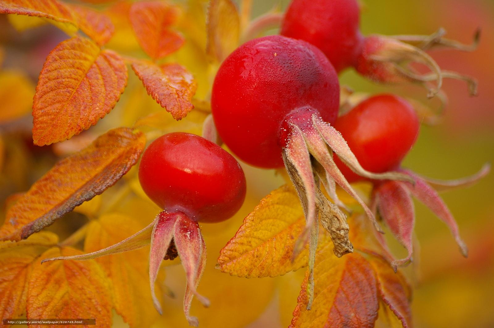плоды, листья, шиповник, макро, осень