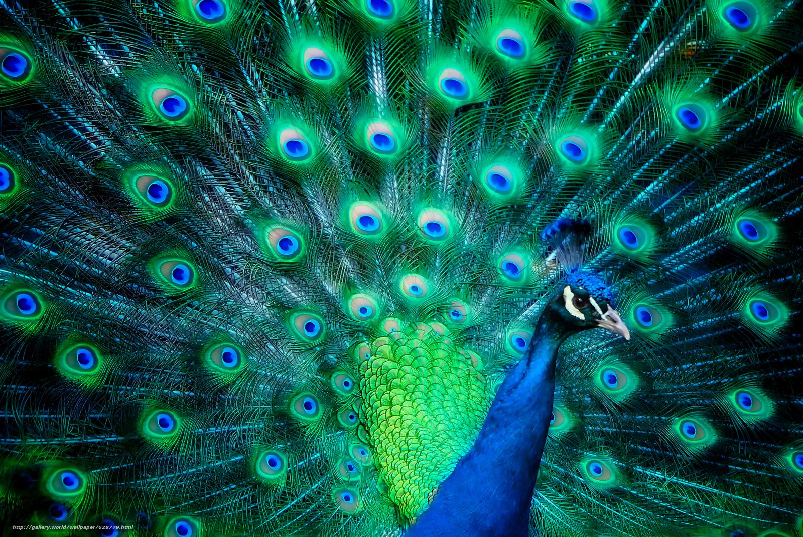 Скачать на телефон обои фото картинку на тему павлин, веерный хвост, птица, разширение 2500x1674