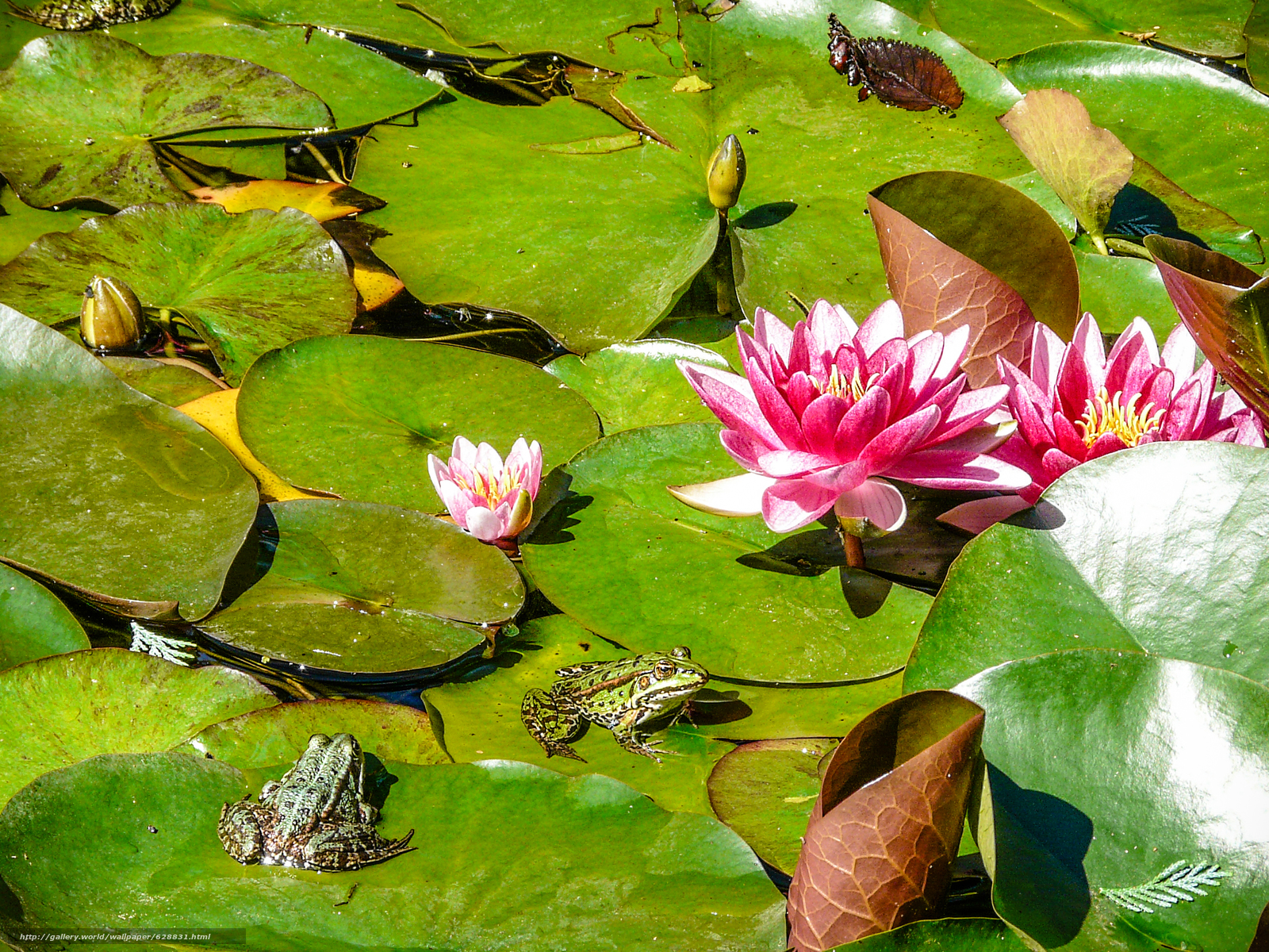 лягушки, природа, водоём, водяные лилии