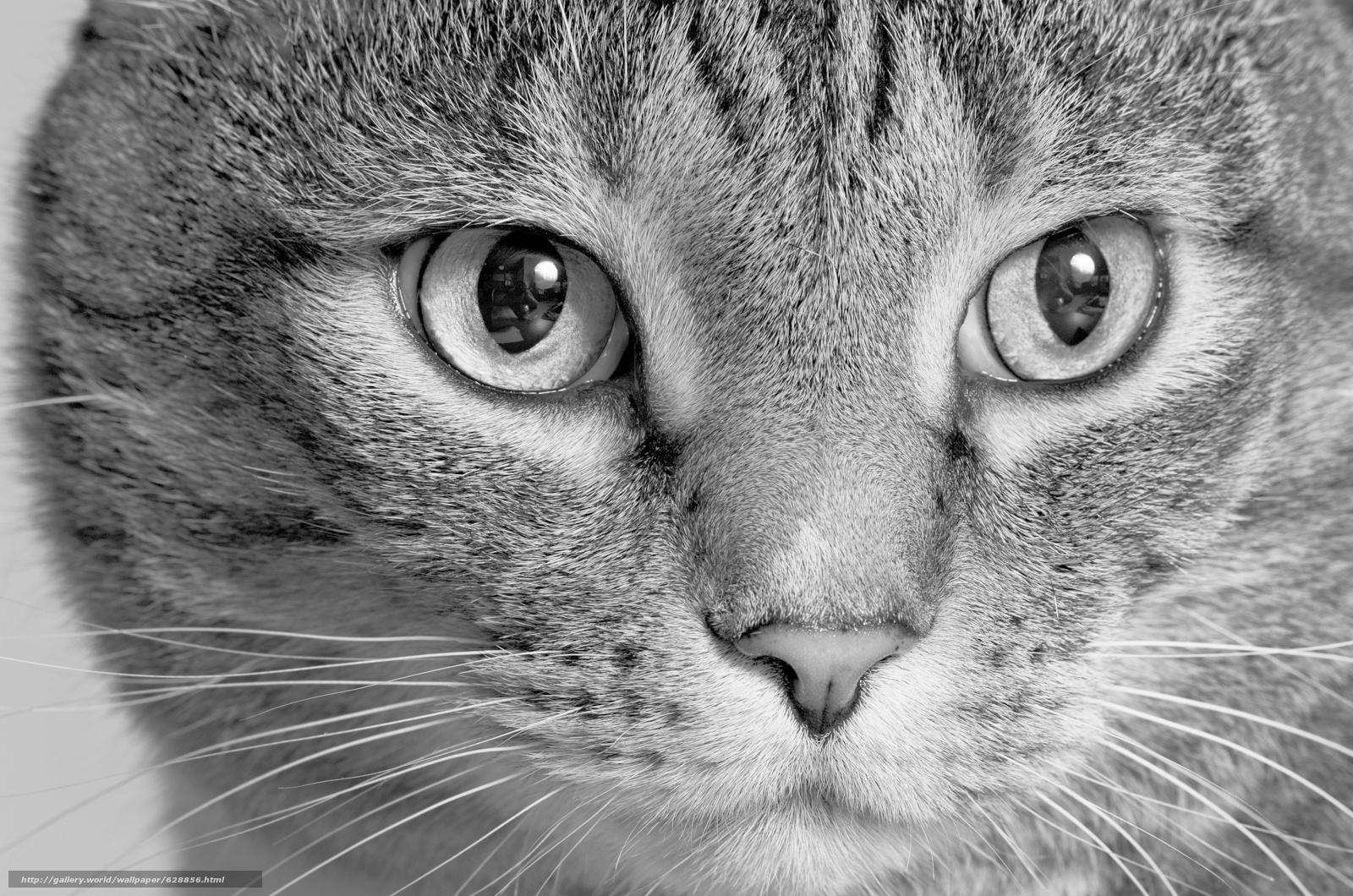 Обои кот, кошка, морда, взгляд, монохром, чёрно-белая