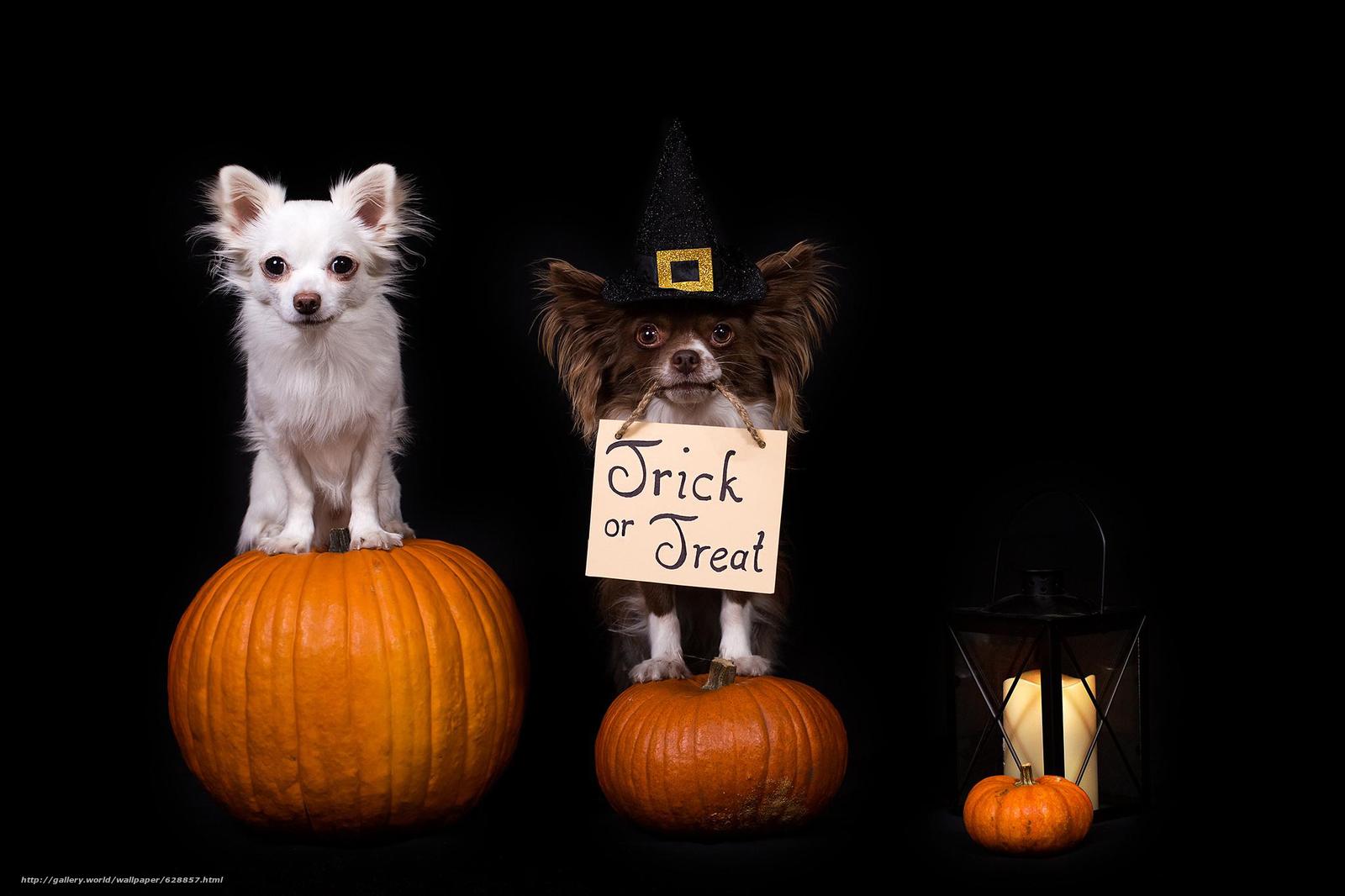 Обои Halloween, Хэллоуин, собаки, чихуахуа, тыквы, фонарь