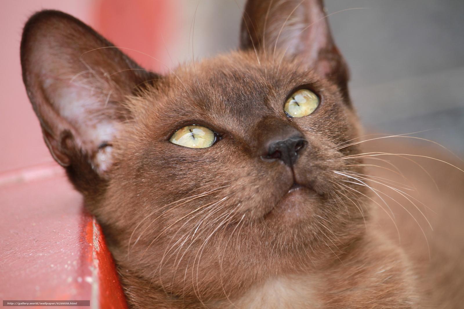 muzzle, Burmese, Burmese cat