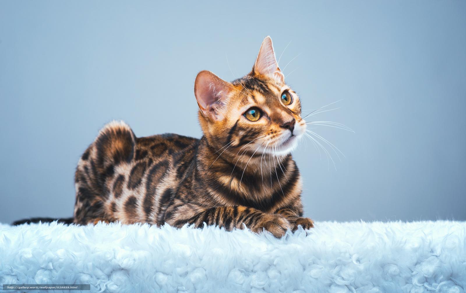 Обои Бенгальская кошка, бенгал, взгляд