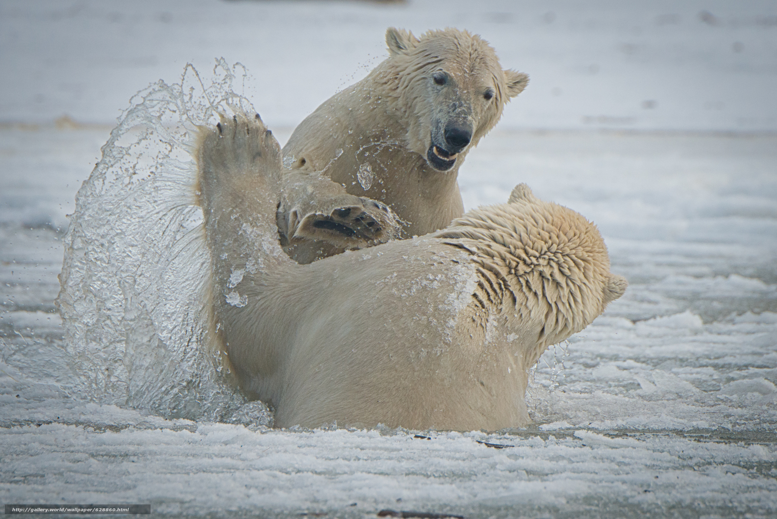 O Parque Nacional ?rtico, Alasca, Os ursos polares, Arctic National Wildlife Refuge, Bears, treino, spray
