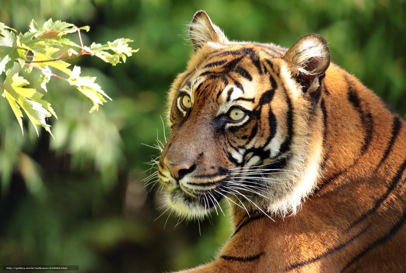 Обои Суматранский тигр, тигр, хищник, морда, портрет, ветка