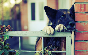 German shepherd, claws, fence, забор