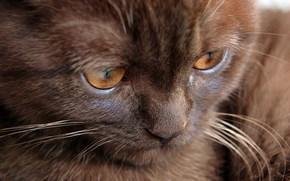 gatto, gattino, cioccolato