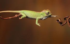 chameleon, lizard