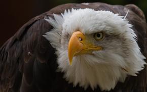eagle, bird, proud, formidable, view, beak, acute