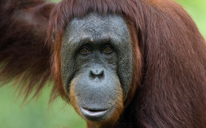 orangutan, monkey, smirk, hey you