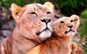 leonessa, giovane leone, vista