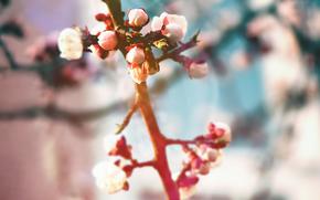 macro, natureza, Plantas, ramo, buds, folhas, primavera, Flores