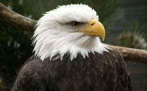 орел, беллоголовый, клюв