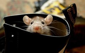 photo, picture, shoe, rat, Eyes, mustache, ears, background, wallpaper