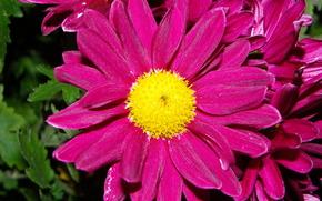 цветы, дубки, фиолет