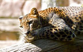 ghepardo, riposo, albero