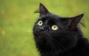 черный, кошка, взгляд