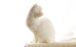 белая, британская, короткошерстная, ушки