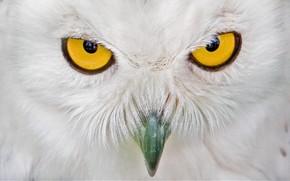 猫头鹰, 看, 喙