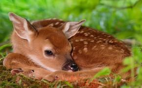 Bambi, cervo, verdura
