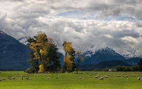 paesaggi, natura, animali, pecora, Pecora, agnello, Pecora, pascolo, mandria, mandria, alberi, foto, carta da parati