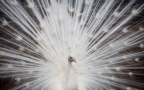 white, peacock, feathers