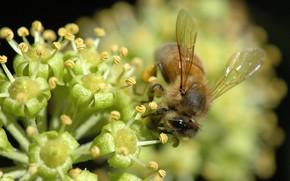 makrosemka, nctar, flor, abelha