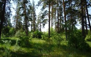 estate, pino, foresta