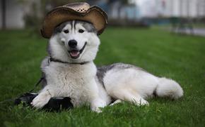 собака, пёс, лайка, шляпа, фотоаппарат, лежит, охраняет, трава